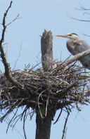 Heron Colony at Libby Hill-021.JPG