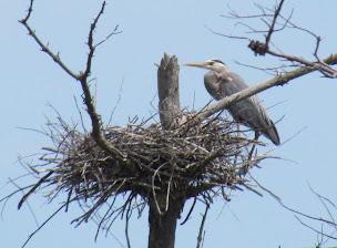 Heron Colony at Libby Hill-021.JPG
