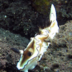 Nudibranch near the US Liberty wreck (Tulamben, Bali)