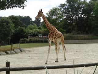 2016.09.02-035 girafe