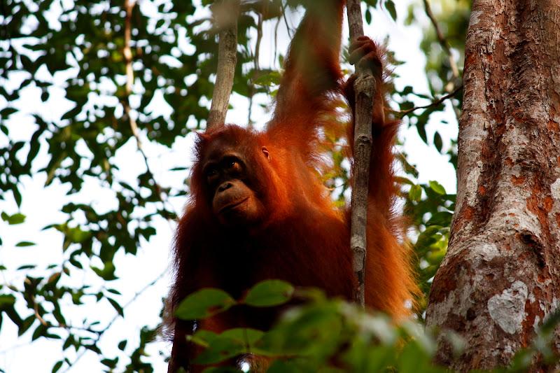 Un orangután muy guapo