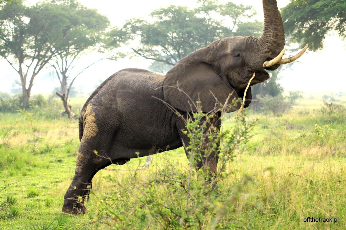 Słoń z wyciągniętą trąbą, park narodowy Murchison Falls, Uganda