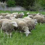 Bergerie nationale : élevage de moutons