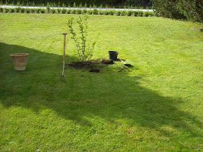 Photo: Die Magnolie bekommt den Ehrenplatz und darf zukuenftig unser Grundstueck zieren.