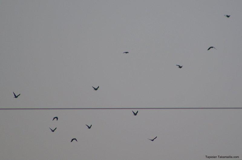 sepelkyyhkyparvi lentää aamussa