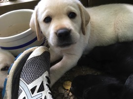Yellow Lab puppy looking at me
