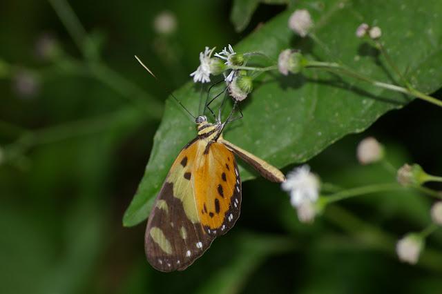 Melinaea ludovica CRAMER (1780). Caçandoca (Ubatuba, SP), 15 février 2011. Photo : J.-M. Gayman