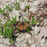 Melitaea didyma meridionalis STAUDINGER, 1870, femelle. Les Hautes-Courennes (549 m), Saint-Martin-de-Castillon (Vaucluse), 7 mai 2014. Photo : J.-M. Gayman