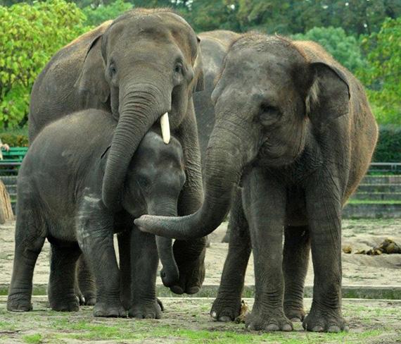 Llega a Zoo Aquarium de Madrid un grupo de elefantes asiáticos de Sumatra