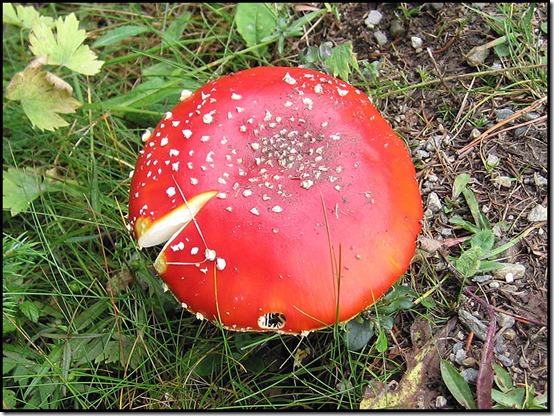 70-Amanita-muscaria-or-Fly-Agaric