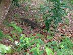 Tioman - Monitor Lizard