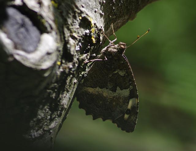 Brintesia circe (Fabricius, 1775). Les Hautes-Courennes (550 m), Saint-Martin-de-Castillon (Vaucluse), 21 juin 2015. Photo : J.-M. Gayman
