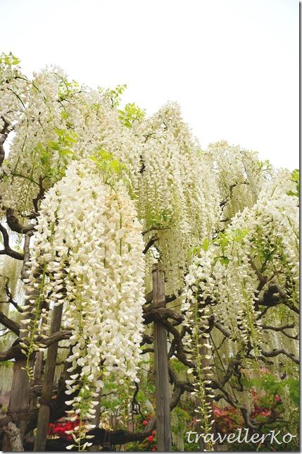 在最美的季節遇見足利紫籐花卉公園:門票交通攻略實況(下)06