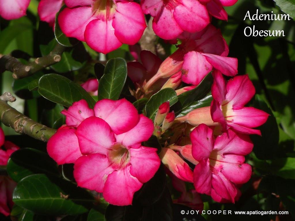 LOVELY FLOWERS DSCF8179%2520picadilo