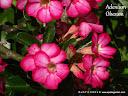 LOVELY FLOWERS DSCF8179%20picadilo