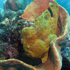 Giant yellow frogfish (Lembeh Strait)