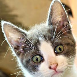 by Linda    L Tatler - Animals - Cats Kittens (  )