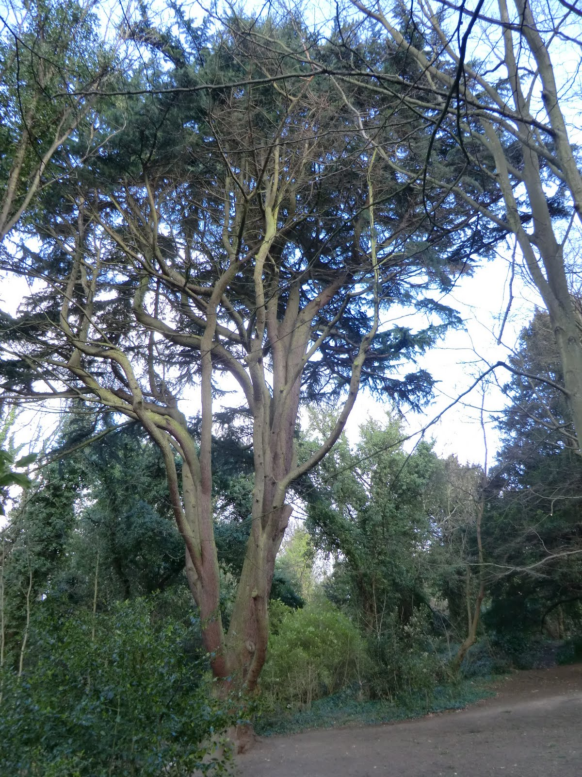 CIMG1528 Cedar of Lebanon, Sydenham Hill Wood