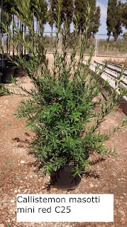 callistemon masotti mini red C25