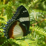Hypolimnas dexithea (HEWITSON, 1863). Parc de Mantadia (Madagascar), 29 décembre 2013. Photo : T. Laugier