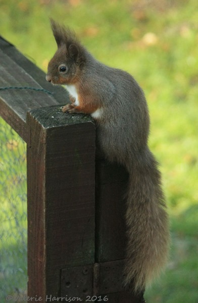6-red-squirrel