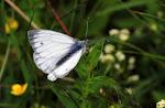 Artogeia bryoniae, han2.jpg