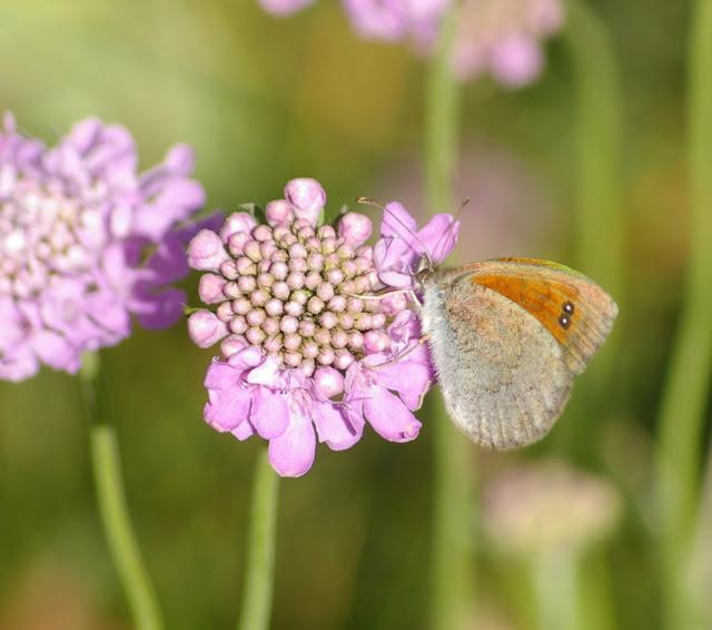 Erebia cassioides aquitania FRUHSTORFER, 1909, femelle, verso. Super Sauze, 2160 m (Alpes-de-Haute-Provence), 6 août 2009. Photo : J.-M. Gayman