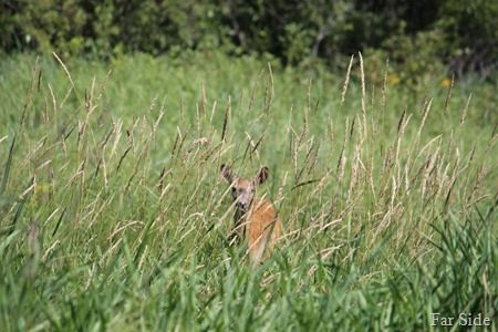 Deer in the swamp