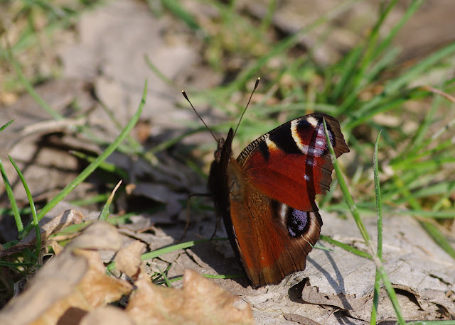 Inachis io L., 1758. Les Hautes-Lisières (Rouvres, 28), 24 mars 2012. Photo : J.-M. Gayman