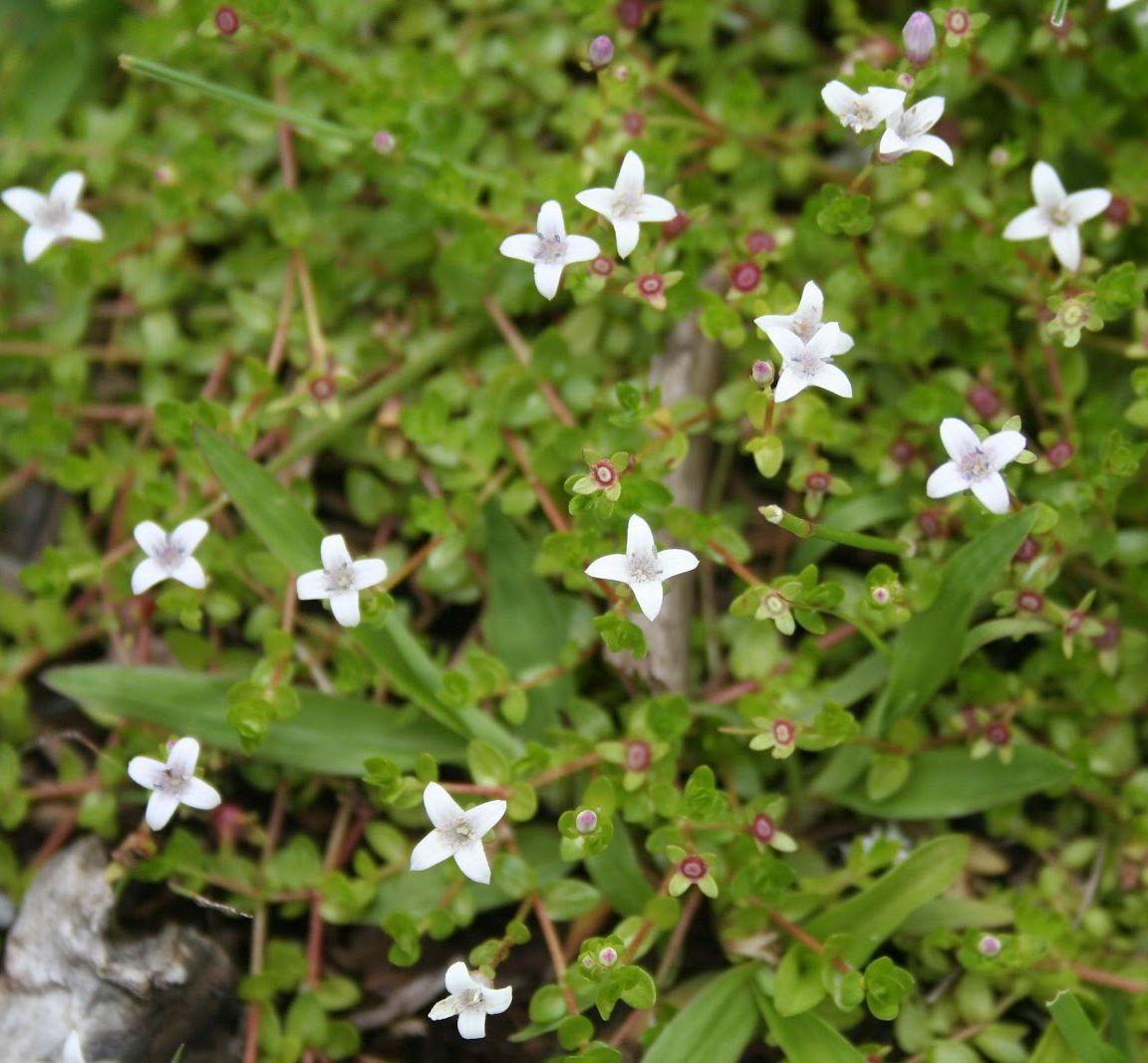 Олденландия Зальцмана (Oldenlandia salzmannii)