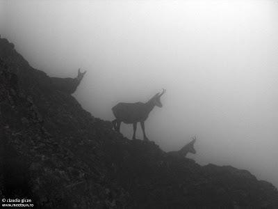 trei capre negre prin ceata pe Bucsoiu