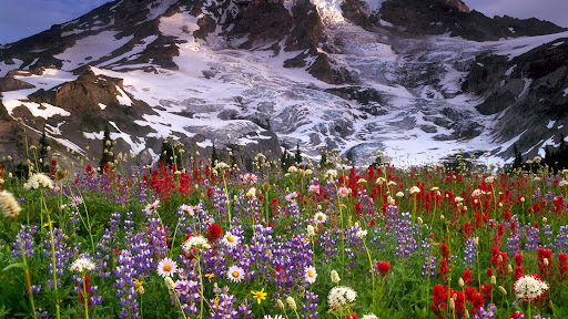 Spectacular Wildflowers, Mount Rainer National Park, Washington.jpg