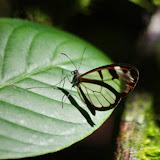 Oleria vicina (Salvin, 1869). Mount Totumas, 1900 m (Chiriquí, Panamá), 22 octobre 2014. Photo : J.-M. Gayman