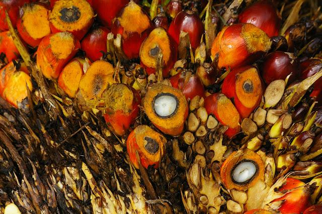 Fruits du palmier à huile. Sukau, 12 août 2011. Photo : J.-M. Gayman