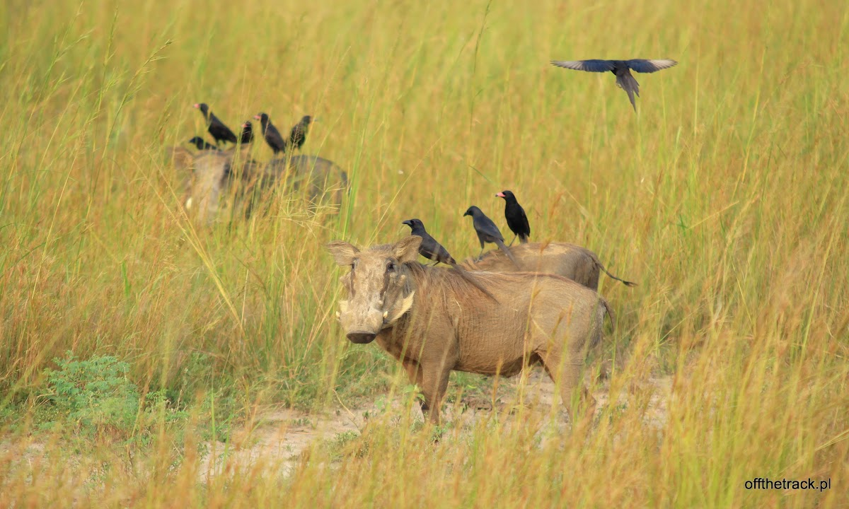 Dwie pumby w trawie, park narodowy Murchison Falls, Uganda