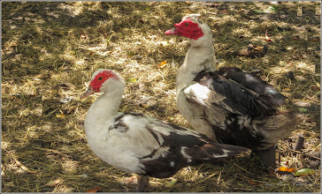 Photo: Turda - Păsări  pe Str. Lacramioarelor, intr-o ograda - 2019.07.17