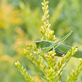 katydid_MG_8767-copy.jpg