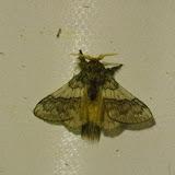 Lasiocampidae sp. ? Mount Totumas, 1900 m (Chiriquí, Panamá), 21 octobre 2014. Photo : J.-M. Gayman