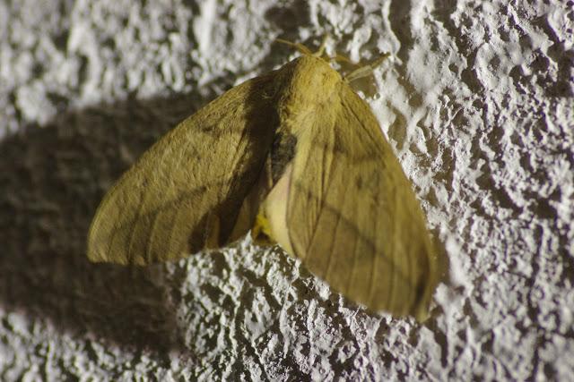 Saturniidae : Ceratocampinae : Adeloneivaia subangulata (Herrich-Schäffer, [1855]), femelle. Cupiagua, 620 m (Casanare, Colombie), 4 novembre 2015. Photo : J.-M. Gayman