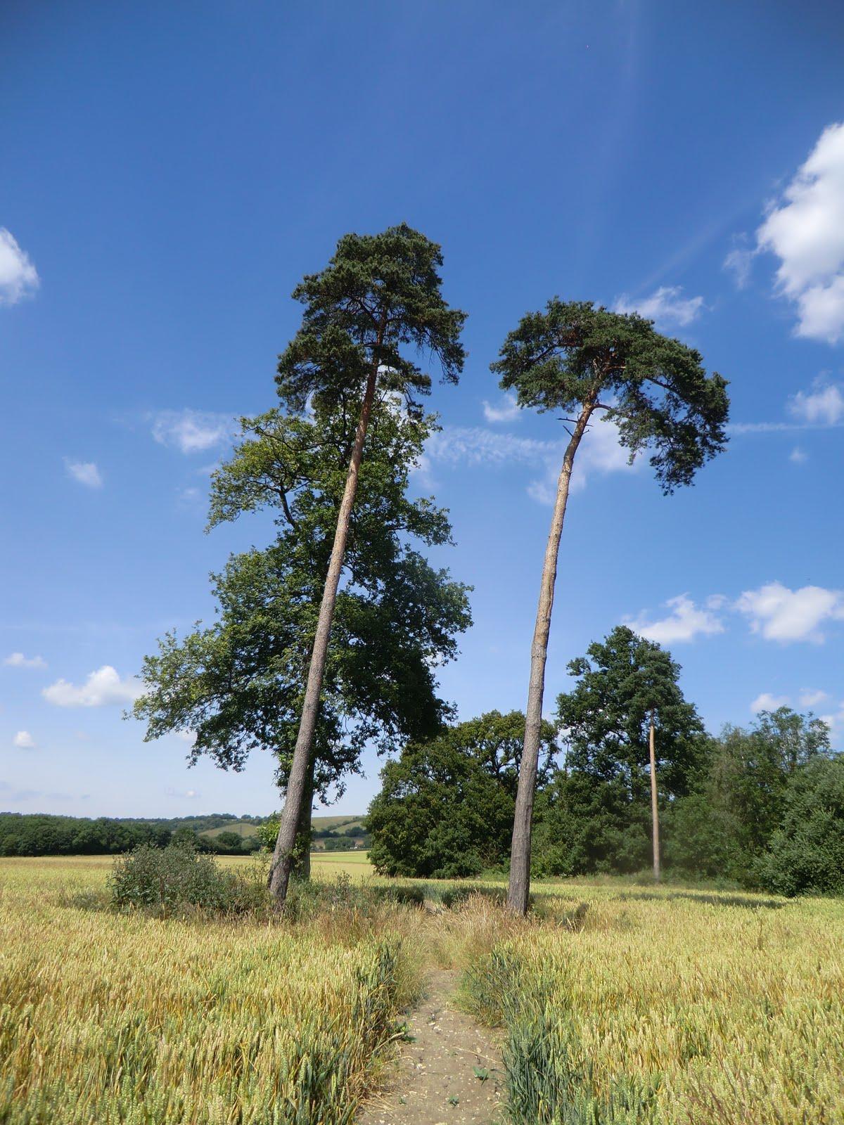 CIMG2319 Pine trees in a field near Hollingbourne