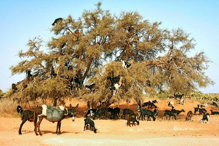 As cabras escaladoras do Marrocos