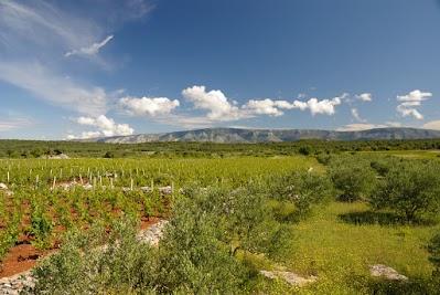 Wein und Oliven auf der Insel Hvar