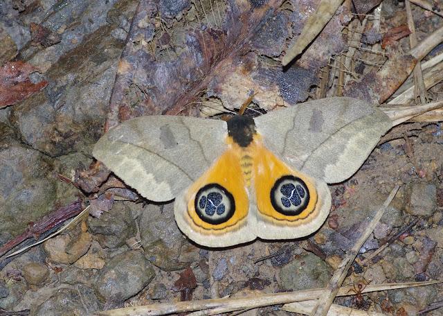 Saturniidae: Hemileucinae: Automeris liberia (Cramer, 1780), mâle. Santa María en Boyacá, 1120 m (Boyacá, Colombie), 2 novembre 2015. Photo : J.-M. Gayman