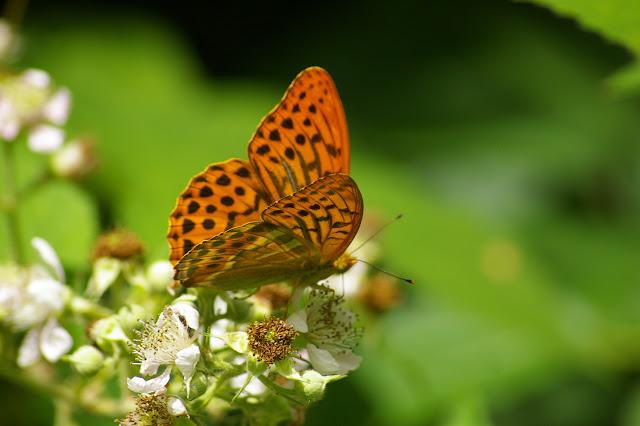 Argynnis paphia LINNAEUS, 1758, mâle. Les Hautes-Lisières, 5 juillet 2010. Photo : Jean-Marc Gayman