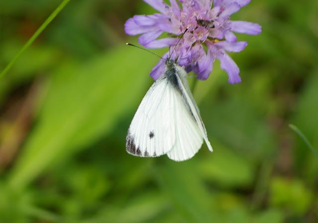 Pieris napi L., 1758, mâle. Les Hautes-Lisières (Rouvres, 28), 22 septembre 2011. Photo : J.-M. Gayman