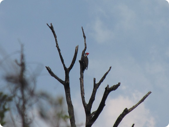 Hawks Bluff Trail - Pileated Woodpecker