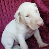 blue-eyed harlequin girl @ 4 1/2 weeks/available