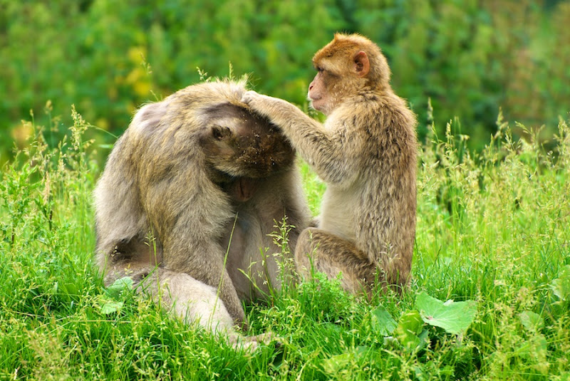 Photo: Grooming Barbary Macaques