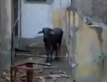 هروب عجل العيد