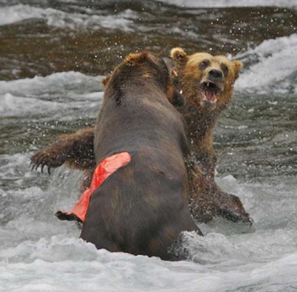 Urso pardo vs Urso polar - Página 2 2